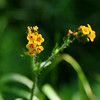 Name: Fiddleneck (Amsinckia menziesii)<br /> Location: Santa Theresa County Park<br /> Date: March 29, 2009