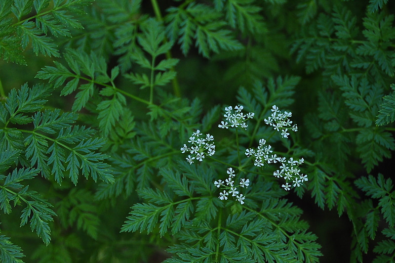 Poison Hemlock - likely