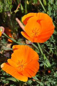 Name: California Poppy (Eschscholzia californica) Location: Santa Theresa County Park Date: March 29, 2009