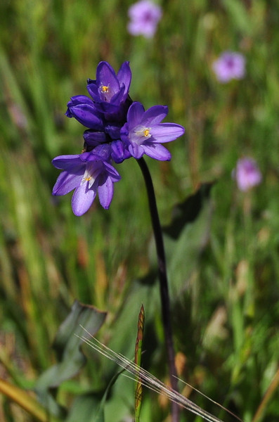 Name: Blue Dicks (Dichelostemma capitatum)<br /> Location: Santa Theresa County Park<br /> Date: March 29, 2009