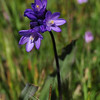 Name: Blue Dicks (Dichelostemma capitatum)<br /> Location: Santa Theresa County Park<br /> Date: March 29, 2009