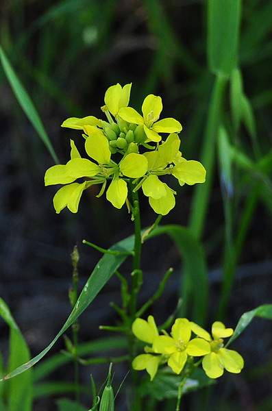 Name: Yellow Charlock (Sinapis arvensis)<br /> Location: Santa Theresa County Park<br /> Date: March 29, 2009