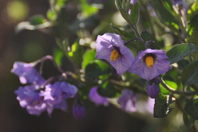 Name: Nightshade, Blue Witch (Solanum umbelliferum)<br /> Location: Sierra Azul Open Space<br /> Date: April 5, 2009
