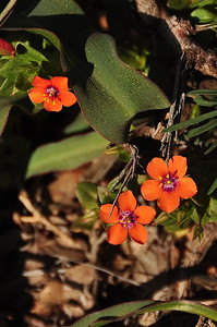 Name: Scarlet Pimpernel (Anagallis arvensis) Location: Sierra Azul Open Space Preserve Date: April 5, 2009