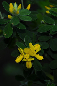 Name: French Broom (Genista monspessulana) Location: Sierra Azul Open Space Preserve Date: April 5, 2009 Note: Invasive species