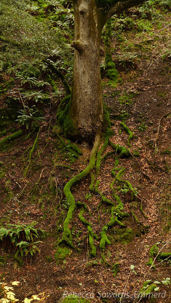 Exposed, mossy roots of a giant White Oak on the hillside across the creek.