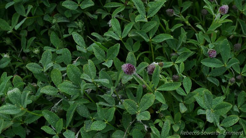 Interesting little berry-like wildflowers. Need to identify.