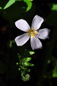 Name: Redwood Sorrel (Oxalis oregana) Location: Big Basin Whitehouse Ridge Trail Date: April 19, 2009