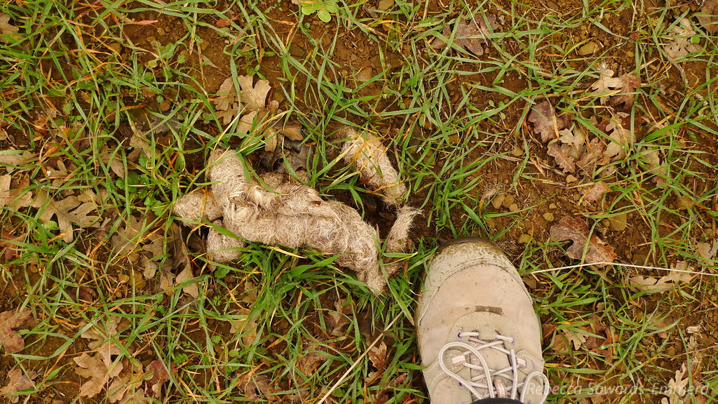From a distance I thought it was a dead or injured rabbit. Just mountain lion scat. So...probably a rabbit.