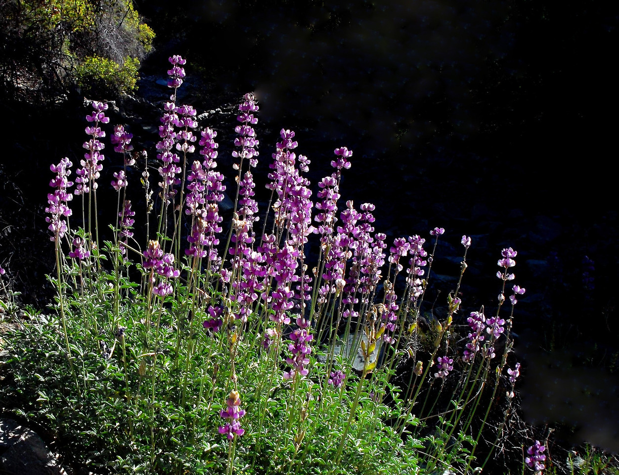 Lupines on the Momyer Trail.