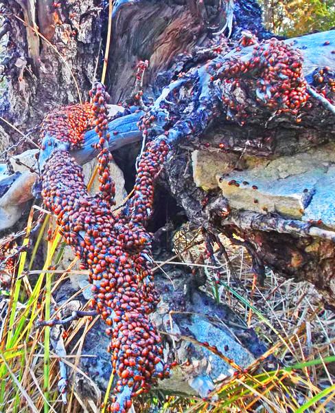 Ladybug Colony Near Ladybug Creek