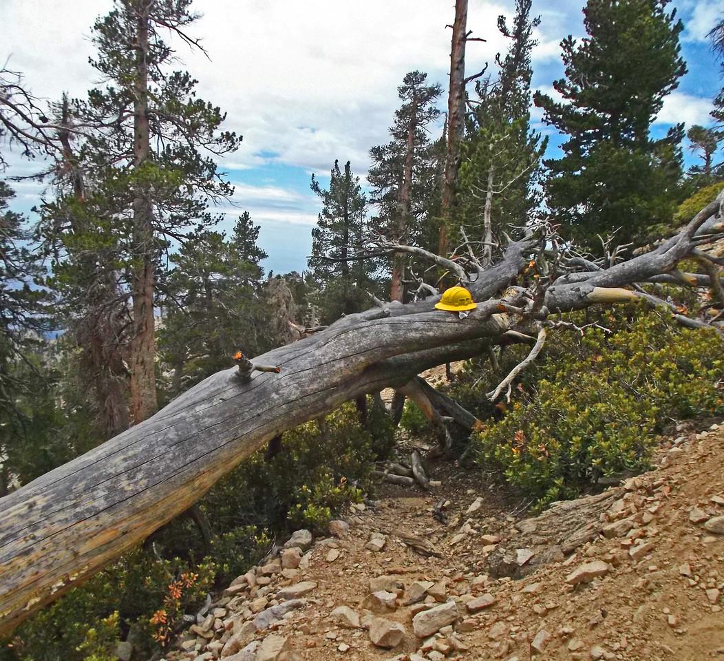 Tree 1 above High Creek Camp - before.