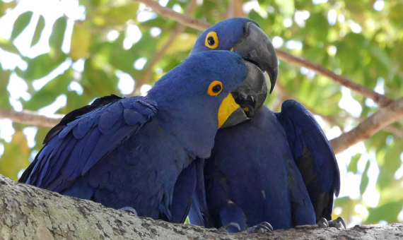 Hyacinth Macaws by FIELD GUIDES participant Valerie Gebert