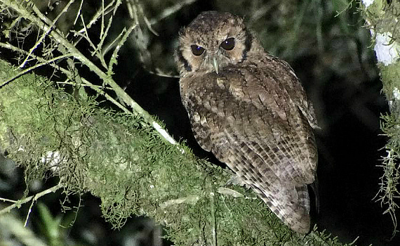 Long-tufted Screech-Owl by FIELD GUIDES Brazil leader Marcelo Padua