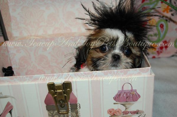 2013 ShihTzu Puppies Adopted