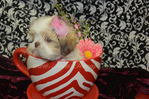 2017 ShihTzu Puppies