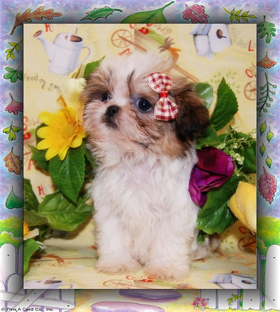 SHI TZU Video and Photo Galleries