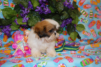 2009 Shih Tzu  Adopted For $675.00 Or Less