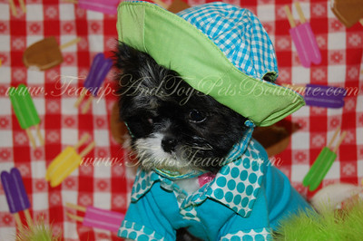 2010 Shih Tzu  Adopted For $675.00 Or Less