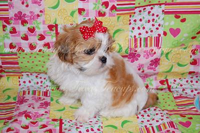 2012 Shih Tzu Puppies Adopted