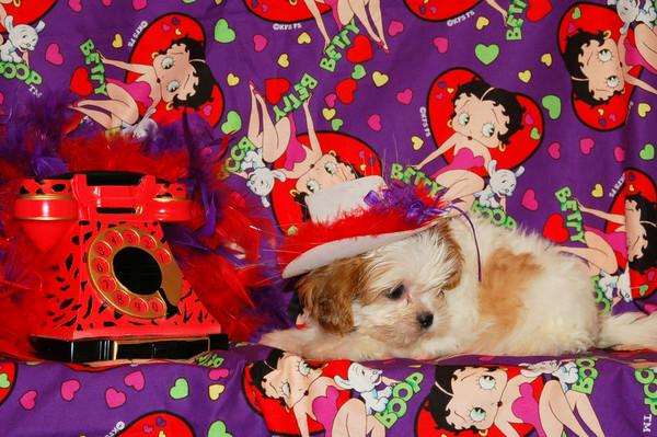 8. MalShi - Maltese/ShihTzu Mix Puppies