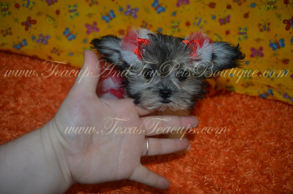 # Malshi Puppies For Sale