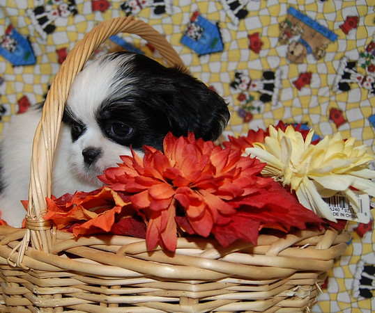# Shih Tzu Maltese Mix Adopted For $675.00 Or Less