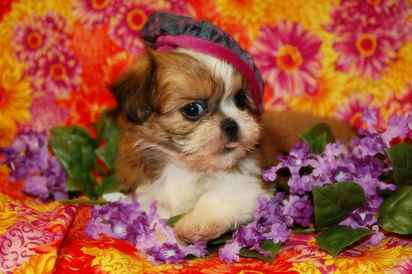 2009 Shih Tzu Maltese Puppy Photo & Video