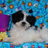 """Sold to: ( Lesley T. )<br /> Date Sold: May 2007<br /> From: City & State: Desoto Texas<br /> <br /> PUPPY NUMBER: ( # SH-ML-514  )<br /> BREED: Shih Tzu Maltese mix<br /> SEX: male<br /> SIZE: toy<br /> D.O.B: 1/23/07<br /> COLOR: Black & White Party Color<br /> <br /> COAT TYPE: List only if applicable<br /> Starting Price was:$ 1,275.00<br /> <br /> Final Price Paid: $ 475.00<br /> Sales Representative: Jan<br /> <br /> Click the ( BUY THIS PHOTO ) icon under photo to purchase this puppy picture.<br /> <br /> Photos are available in wallets, 8 X 10, 5 x 7, on key chains, mouse pads, back packs, coffee mugs and T-Shirts and more.<br /> <br /> This Photo is copy right protected by:<br />  <a href=""""http://www.TeacupAndToyPet.com"""">http://www.TeacupAndToyPet.com</a>"""