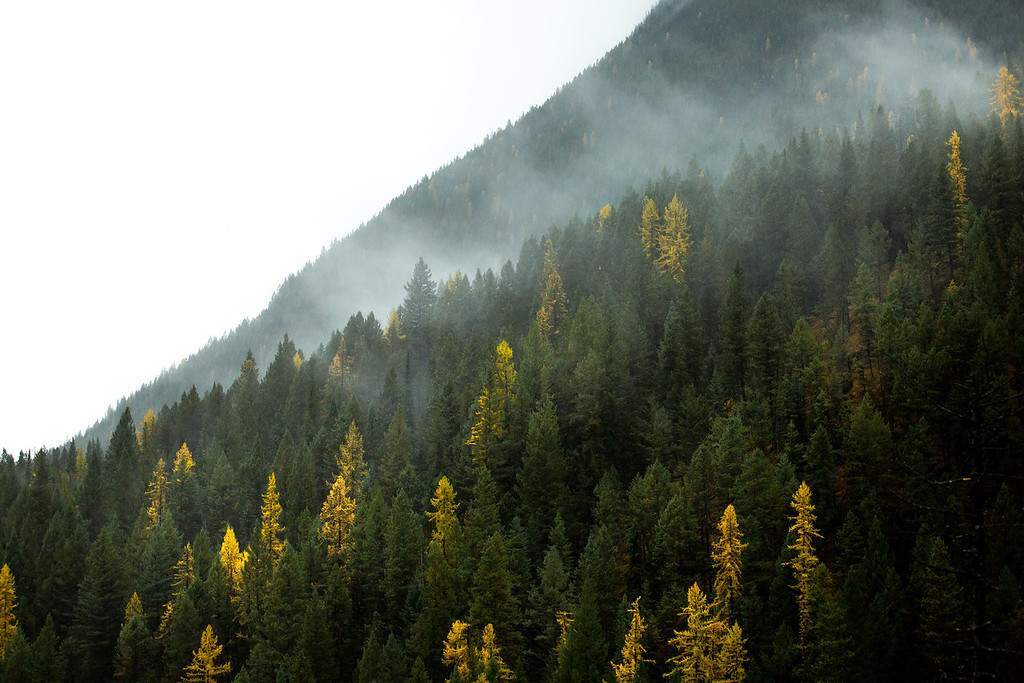 Larches in the PNW