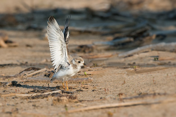 Piping Plover fledgling chick raises wings - 3 weeks old (rare/endangered) • Lakeview WMA at Lake Ontario, NY, USA • 2015