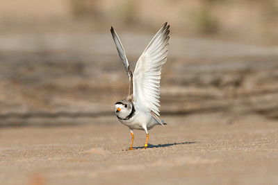 Piping Plover adult stretches wings • Lakeview WMA at Lake Ontario, NY • 2015