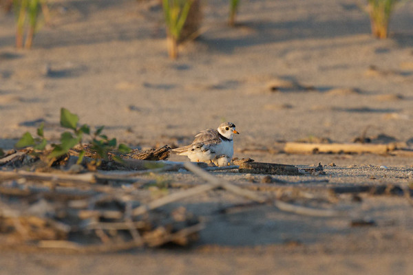 Piping Plover 2-day-old chicks hide under parent (rare/endangered) • Lakeview WMA at Lake Ontario, NY, USA • 2015