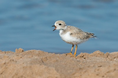 Piping Plover chick on shore calling (rare/endangered) • Lakeview WMA at Lake Ontario, NY, USA • 2015