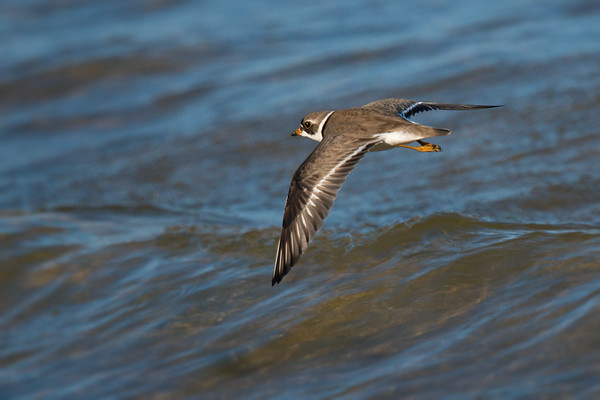 Semipalmated Plover in flight over water • Lakeview WMA, NY • 2016