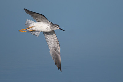 Greater Yellowlegs in flight • Montezuma NWR, NY • 2016