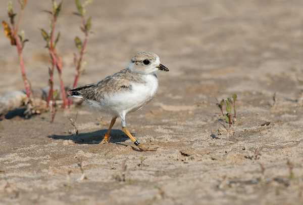Piping Plover chick up close walking the beach - 3 weeks old (rare/endangered) • Lakeview WMA at Lake Ontario, NY, USA • 2015