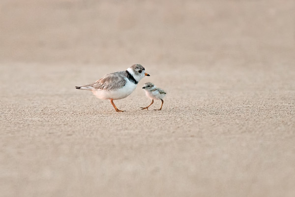 Piping Plover 2-day-old chick with parent • Lakeview WMA at Lake Ontario, NY • 2015