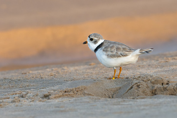 Piping Plover adult on sand watching sunrise • Lakeview WMA at Lake Ontario, NY, USA • 2015