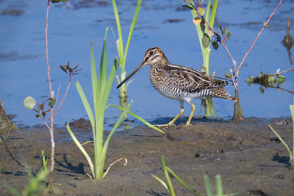 Wilson's Snipe poses by water's edge • Montezuma NWR, NY • 2017