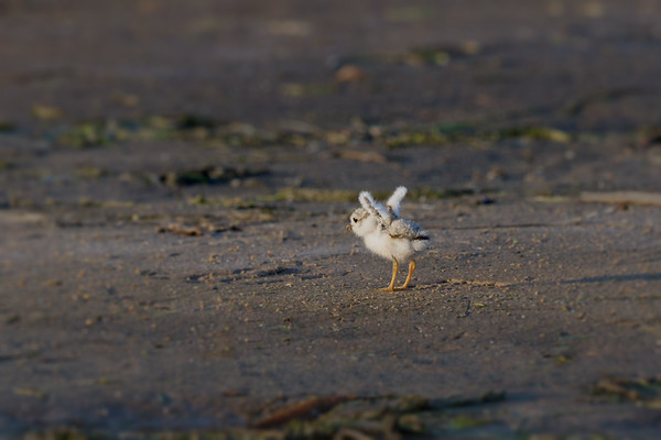 Piping Plover 4-day-old chick lifts its tiny wings (rare/endangered) • Lakeview WMA at Lake Ontario, NY, USA • 2015