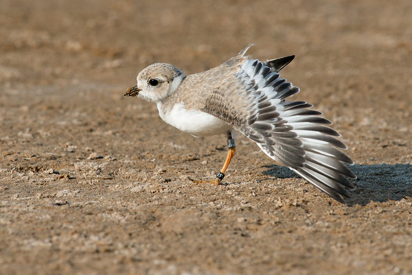Piping Plover chick stretches wing - 3 weeks old (rare/endangered) • Lakeview WMA at Lake Ontario, NY, USA • 2015