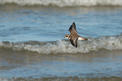 Semipalmated Plover flies over foamy waves • Lakeview WMA, NY • 2015