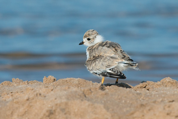 Piping Plover chick on shore ruffles feathers - 3 weeks old (rare/endangered) • Lakeview WMA at Lake Ontario, NY, USA • 2015