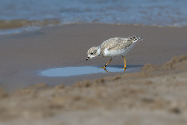 Piping Plover chick hunting for worms and mullosks - 3 weeks old (rare/endangered) • Lakeview WMA at Lake Ontario, NY, USA • 2015