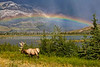 CANADIAN ROCKIES - JASPER NATIONAL PARK.  A male elk with full antlers grazing in front of a lake and mountain range with a double rainbow in the background. [ELK_7752] [High-res sizes up to 10MP]