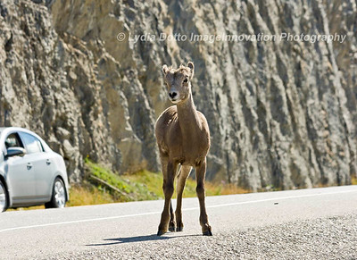 CANADIAN ROCKIES - JASPER NATIONAL PARK.  A baby Rocky Mountain bighorn sheep on the highway. [sheep_7324]