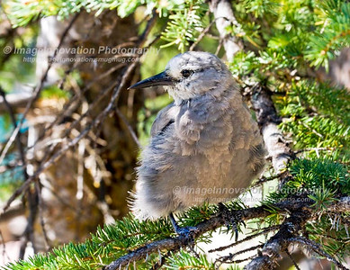 CLARK'S NUTCRACKER (Nucifraga columbiana). Taken at Moraine Lake, BANFF NATIONAL PARK, Alberta, Canada. [nutcracker_5424]