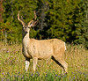 CANADIAN ROCKIES - JASPER NATIONAL PARK.  A male whitetail deer standing in a field. [DEER_H_7984]