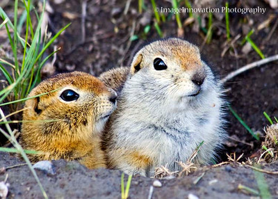 CALGARY, ALBERTA - Inglewood Bird Sanctuary. Richardson's ground squirrels (gopher) [gopher_5149]